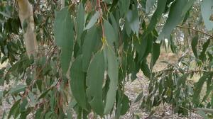 cc by 2.0 John Tann Eucalyptus pauciflora leaves