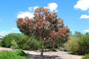 cc by 2.0 Sydney Oats- Eucalyptus torquata