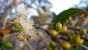 eucalyptus A flower cc by 2.0 John Tann